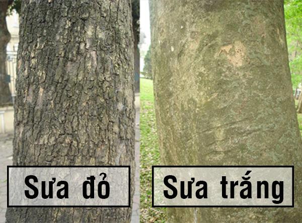 thân cây gỗ sưa